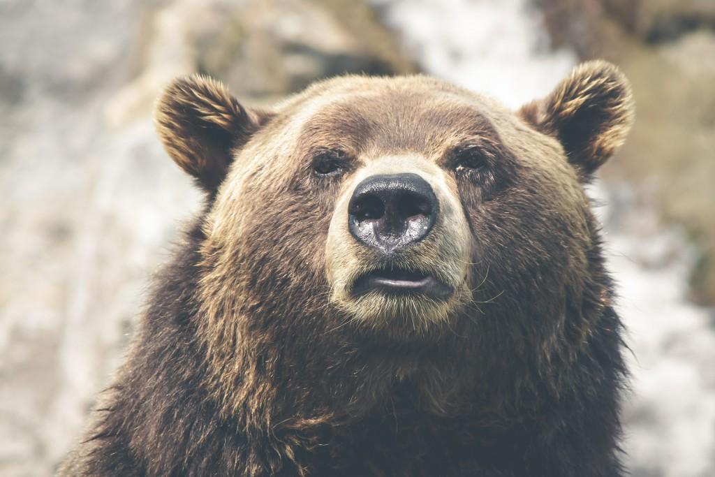 brown-bear-423202_1920